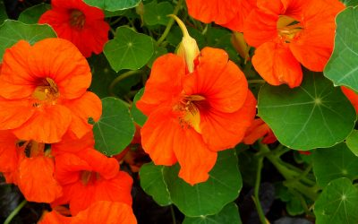 Nasturtium – Why you should grow it in your garden and recipes to use!